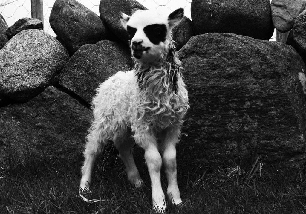 2016_06_Black-Metal-Sheep.jpg